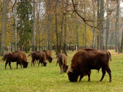 European Bison Show Reserve